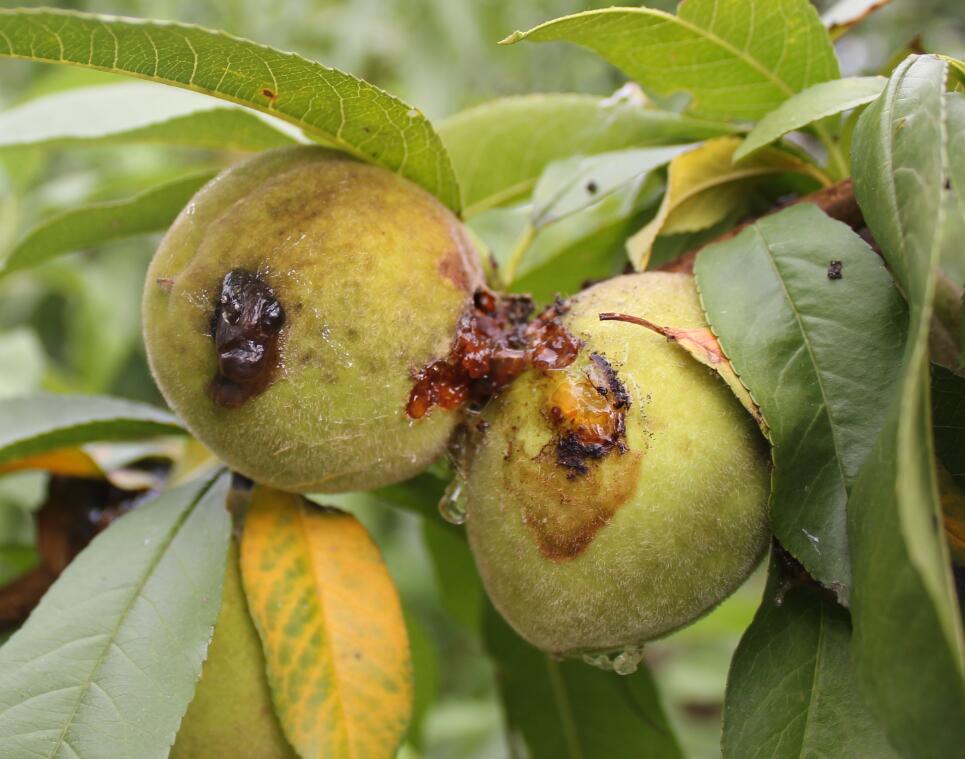 防治对象:主治桃蛀螟,兼治梨小食心虫和桃炭疽病.